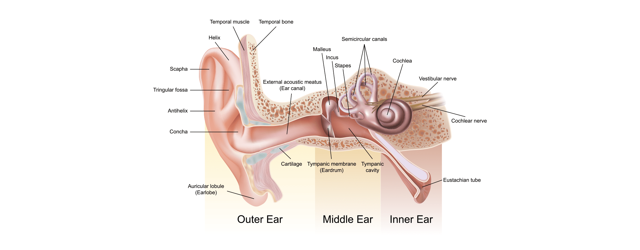 The Anatomy of the Hearing System