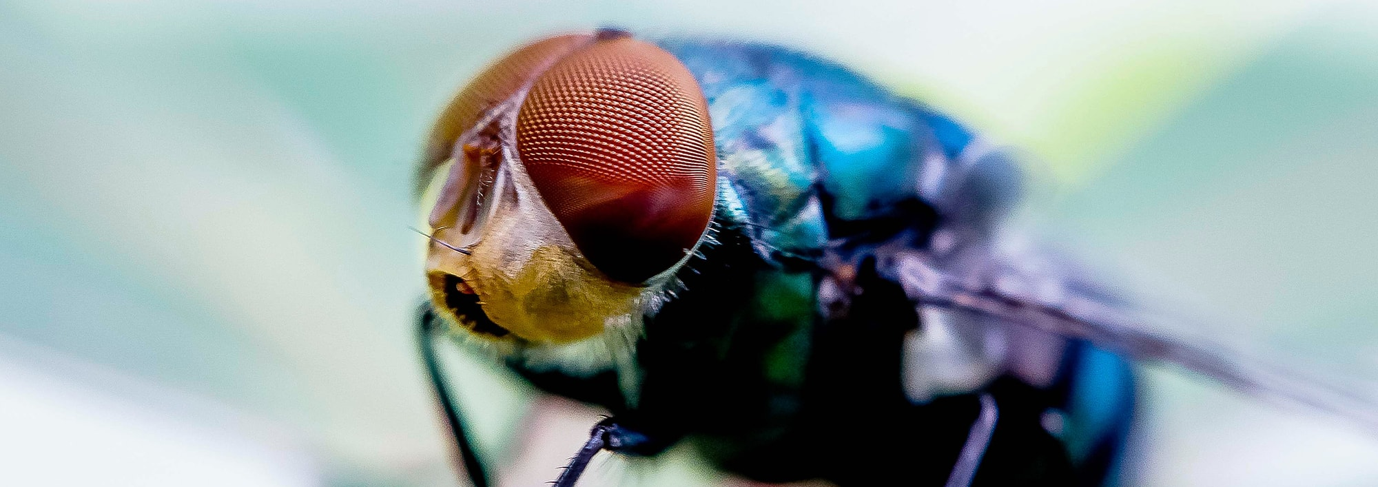 Want Super-Hearing Power? Listen Like a Fly